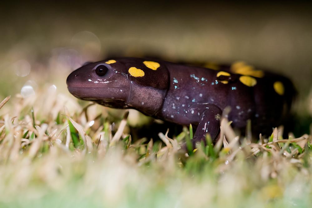 Gefleckter Salamander ( Ambystoma maculatum )
