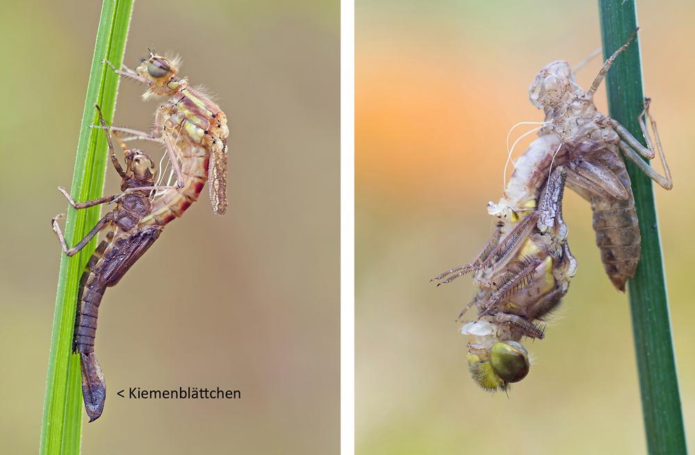 Libellenschlupf: Kleinlibelle links, Großlibelle rechts. Kleinlibellenlarven besitzen sichtbare Kiemenblättchen am Hinterleibsende, Großlibellen nicht. Kleinlibellen steigen meist nach oben aus ihrer Larvenhülle, Großlibellen verbringen die erste Trocknungsphase meist kopfüber.