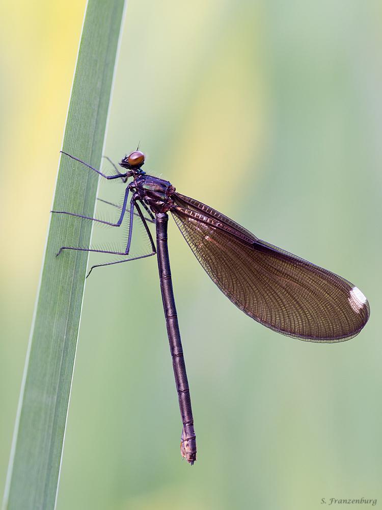P5280481_Calopteryx maculata_klein.jpg