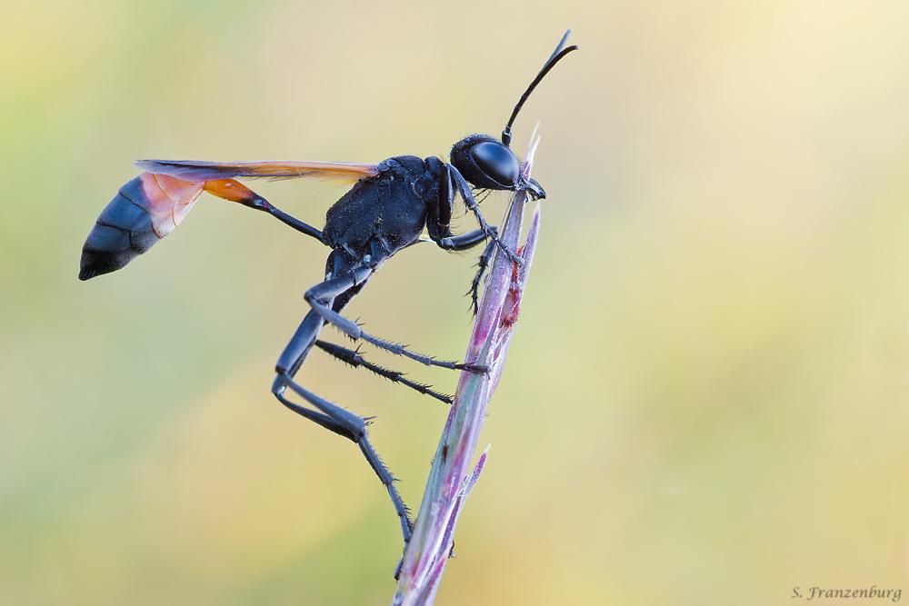 Ammophila cf. pictipennis