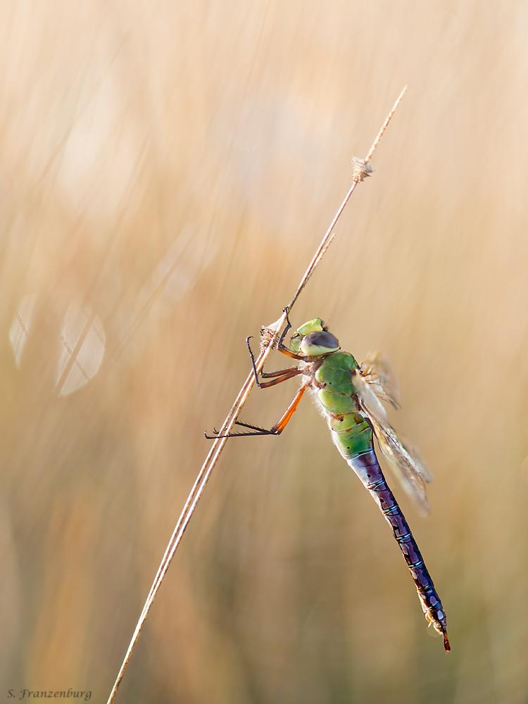 P9291092_Dragonfly_klein.jpg