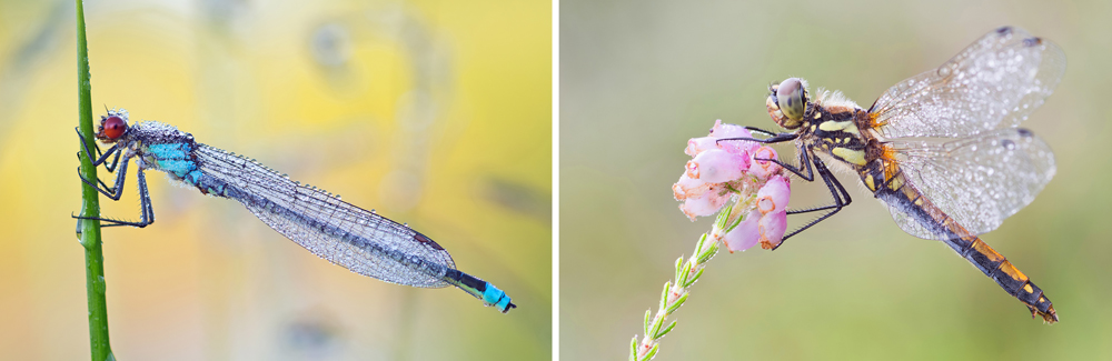 Left: Damselfly resting with folded wings. Right: Dragonfly resting with spread wings.
