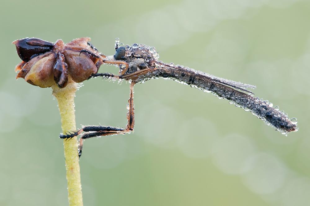 Eine Schlankfliege (Leptogaster cylindrica) in der morgendlichen Kältestarre, von Tautropfen bedeckt und mit tau betropftem Spinnennetz im Hintergrund.