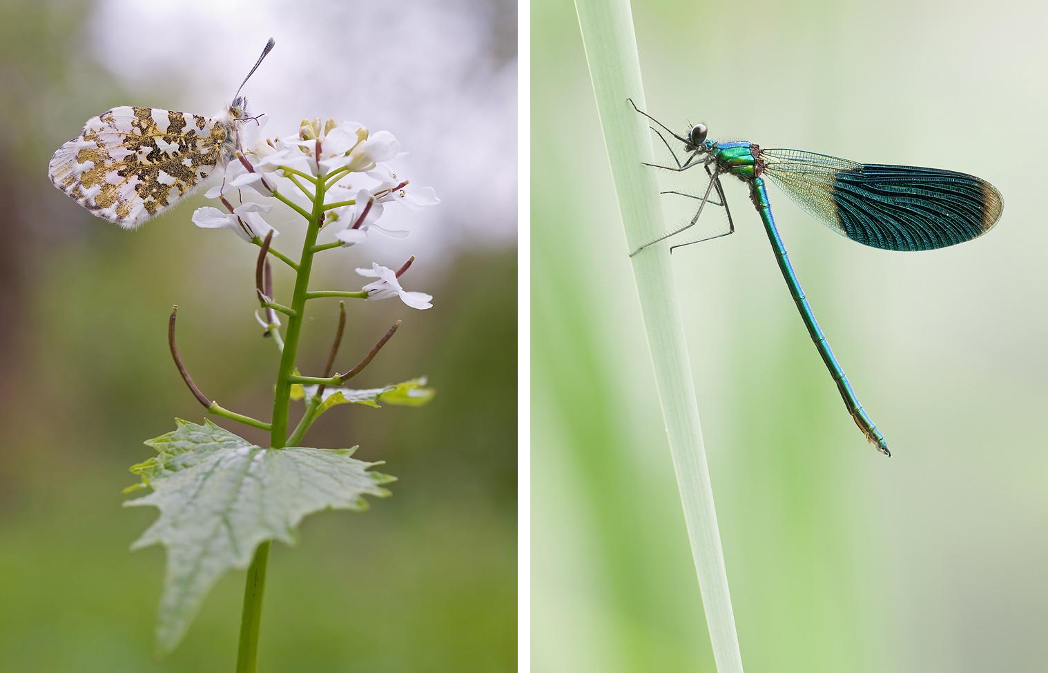 Links: Aurorafalter an seiner Futterpflanze, der Knoblauchsrauke. Rechts: Gebänderte Prachtlibelle im Schilf eines Fließgewässers.