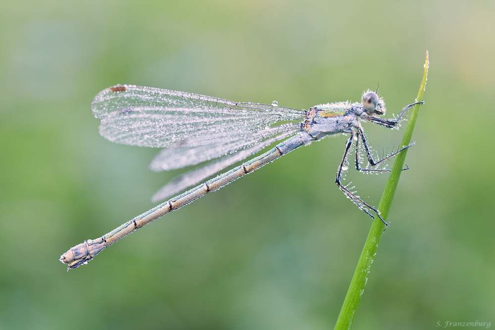 Blue colored female Lestes sponsa (=androchrome female).