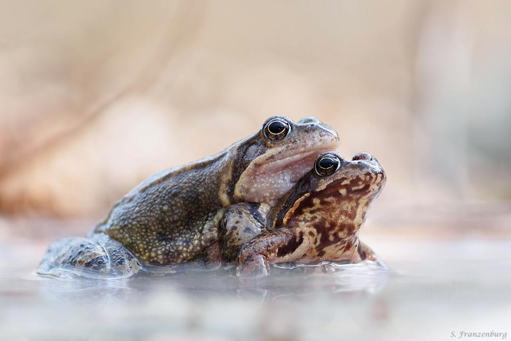 Grasfrosch-Paar im Amplexus