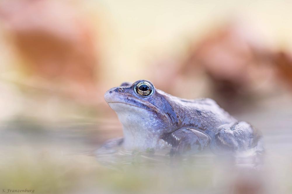 """männlicher Moorfrosch (Rana arvalis) im blauen """"Balzkleid"""""""