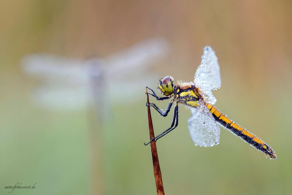 Weibchen (vorne), im Hintergrund zeichnen sich die Flügel des Männchens ab.