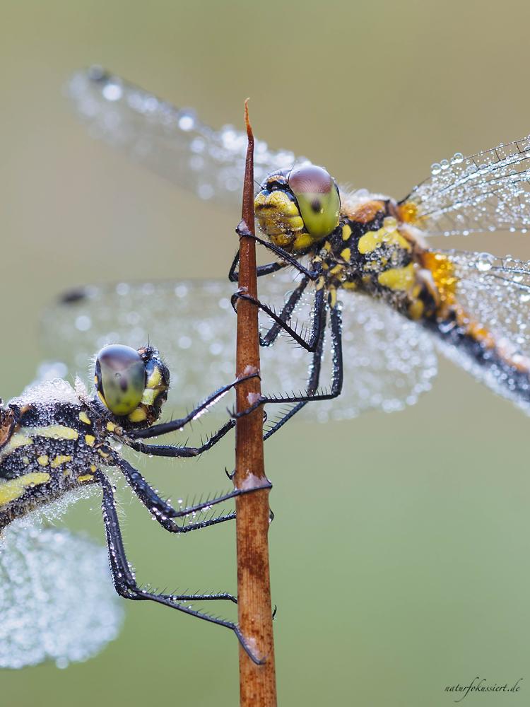 Männchen (links) und Weibchen (rechts)