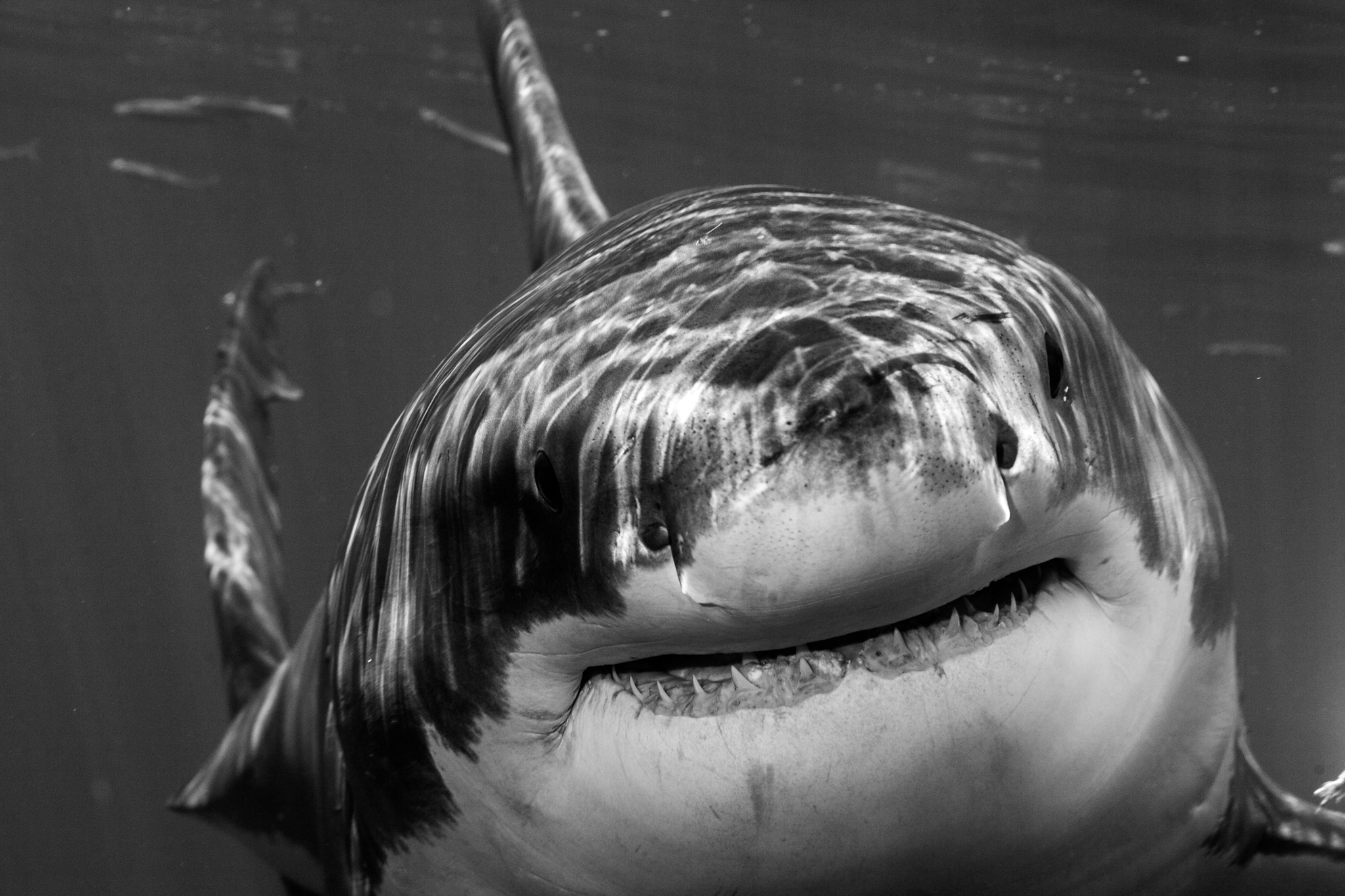 Great_White_Shark_Carcharodon_carcharias12.jpg