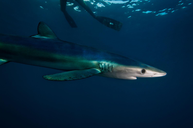 Blue_Shark_Prionace_glauca.jpg