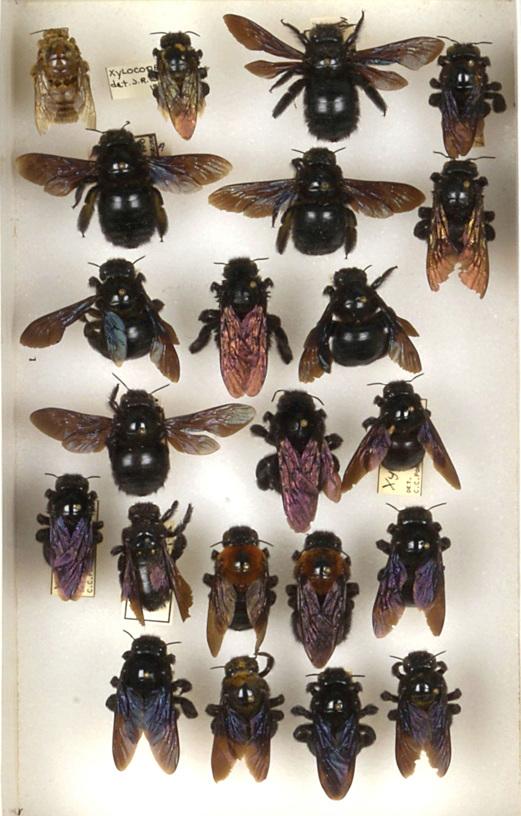 Bee Collection, Detail, Xylocopa, Carpenter Bees