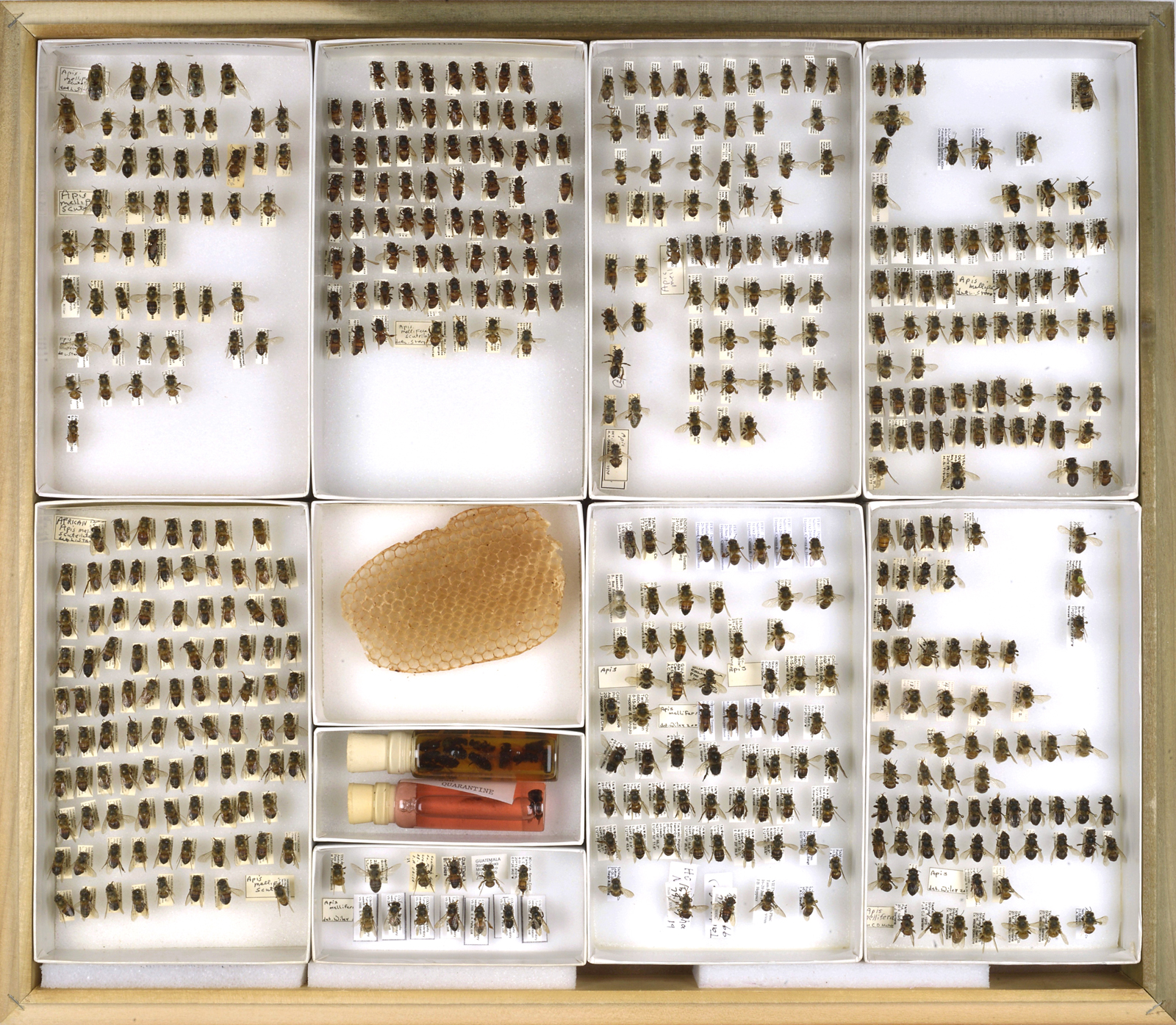 Bee Collection, Apis mellifera scutellata, African Bees