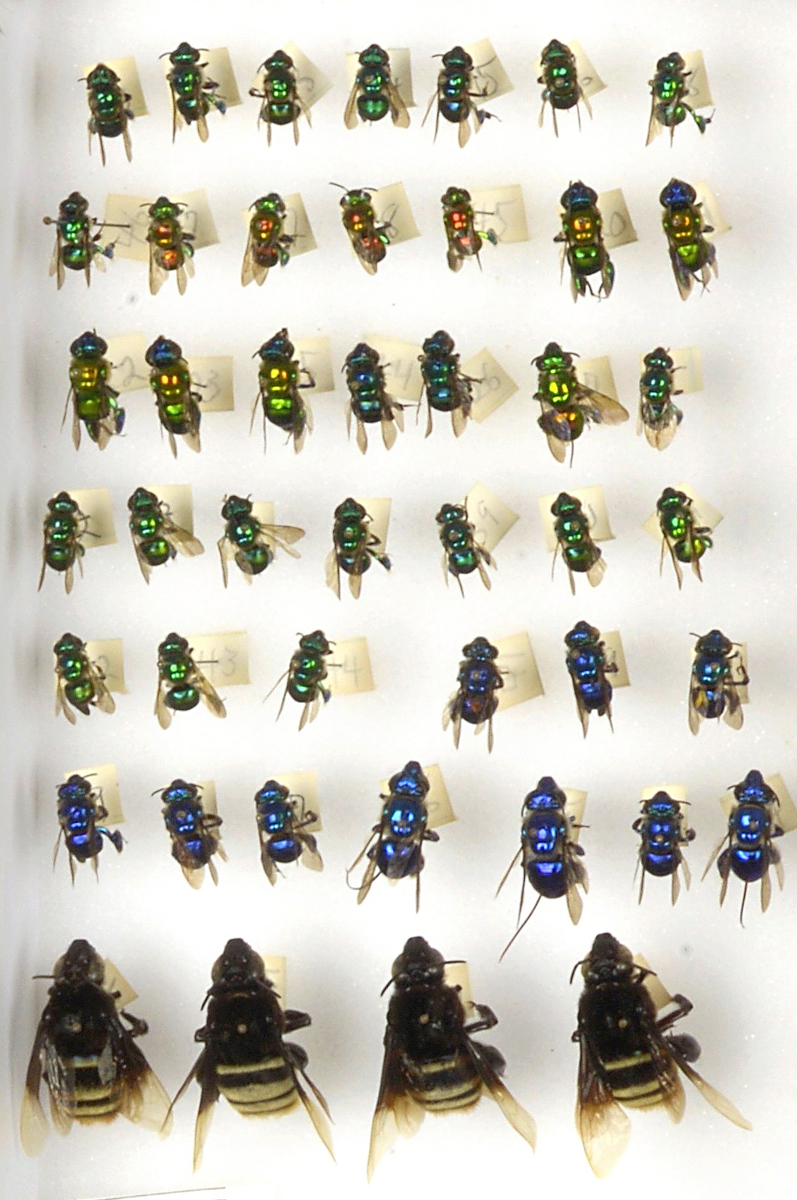 Bee Collection, Detail, Euglossine, Orchid Bees, Headless Bees of Ecuador Drawer