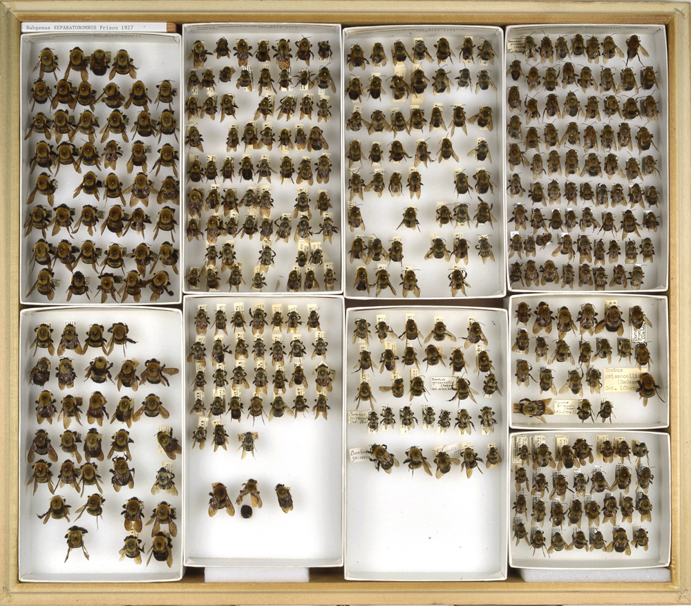 Bee Collection, Bombus, Bumble Bees
