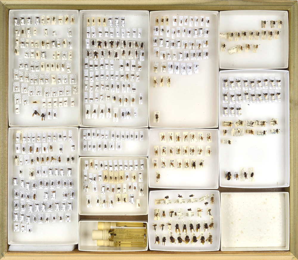 Bee Collection, Pollinaria from orchid flowers