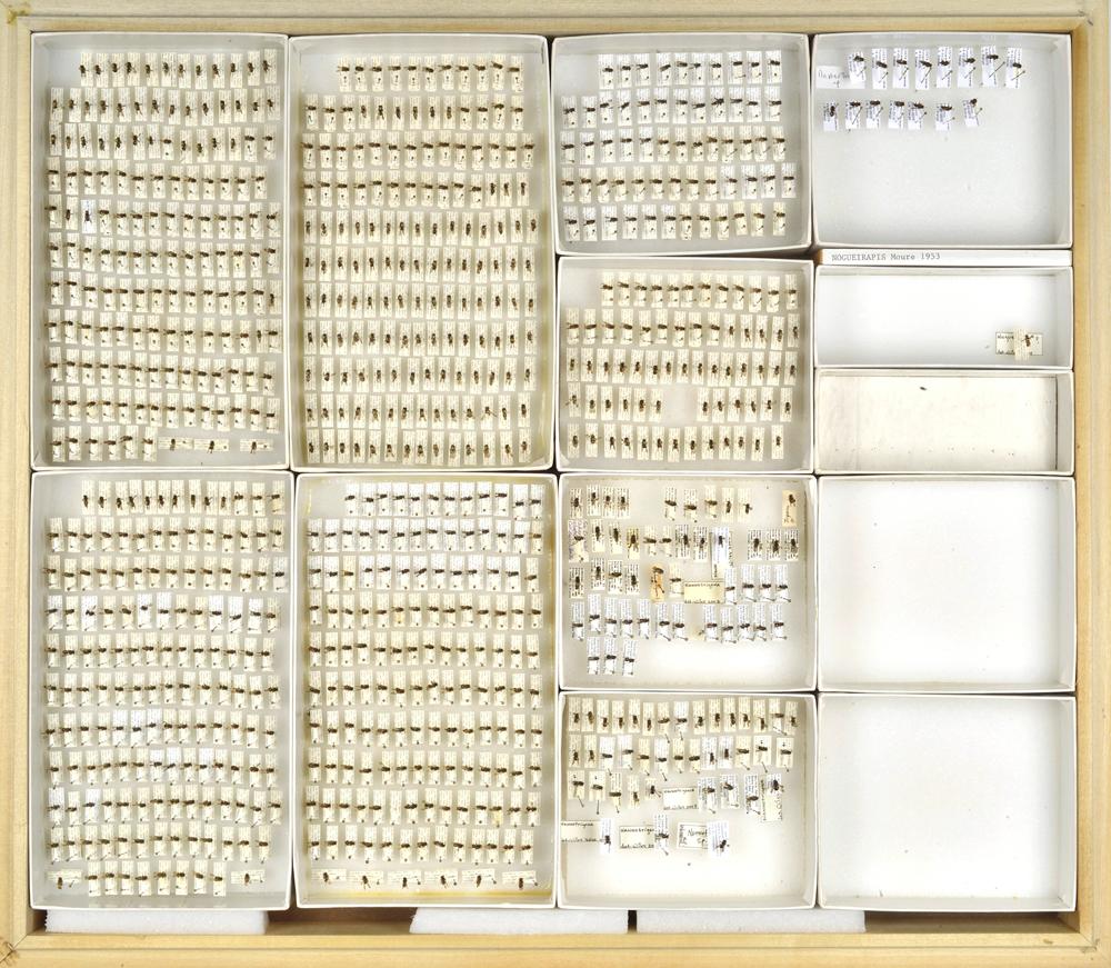 Bee Collection, Nano Trigona, Stingless Bee