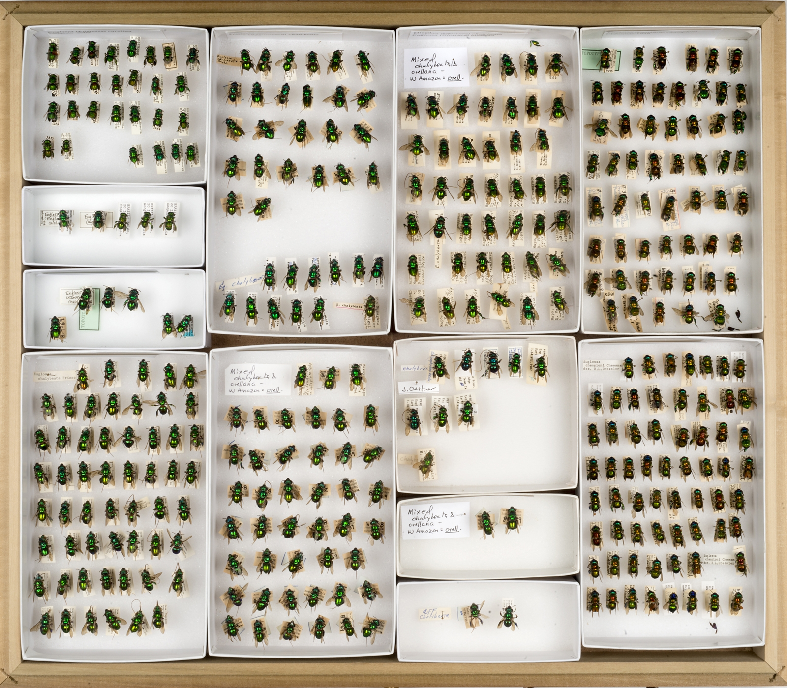 Bee Collection, Euglossine Bees, Orchid Bees, 2015