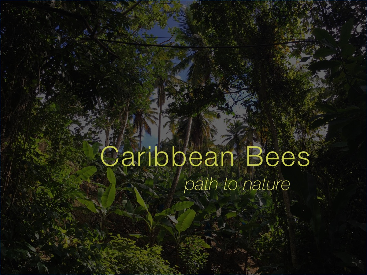 006Michelle Mildreds Lane 2017 caribbean bees.jpg