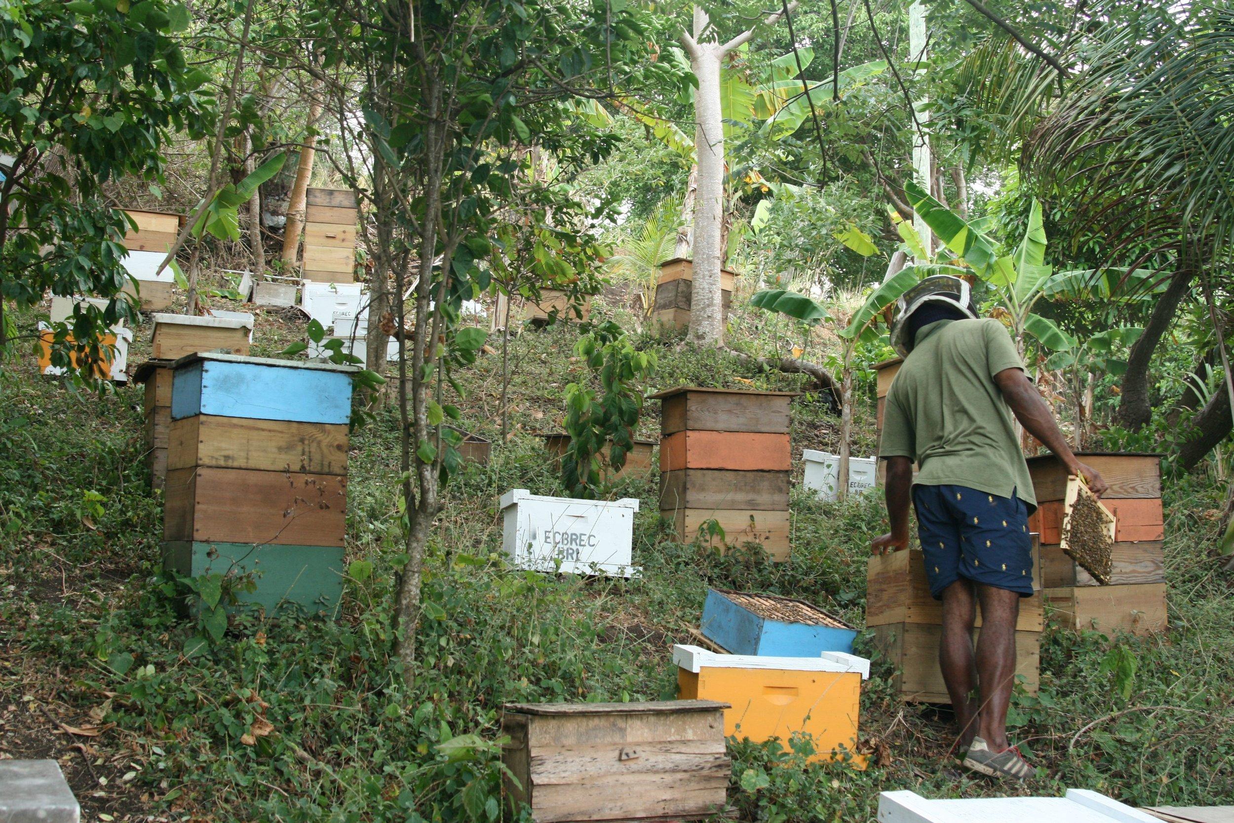 Grenada Beekeeping Jude sm.jpg