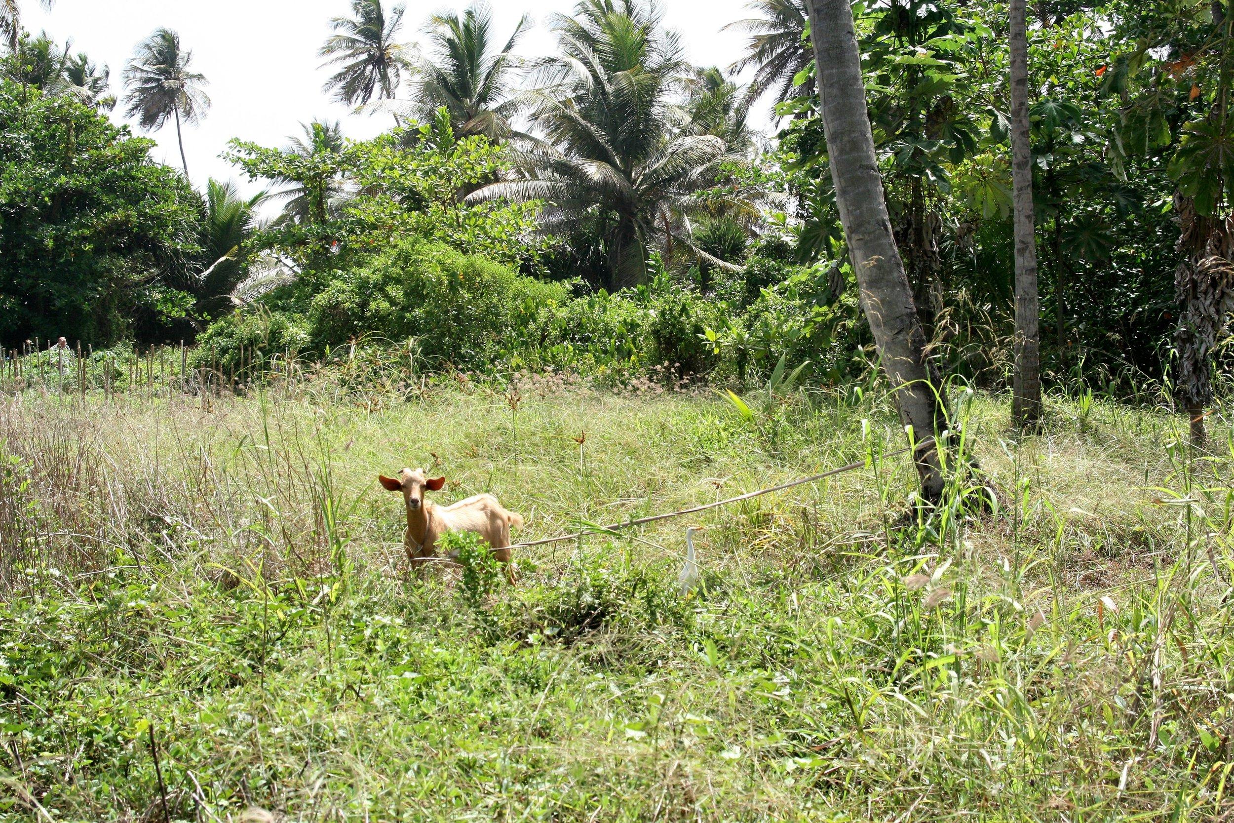 Grenada Goat .jpg