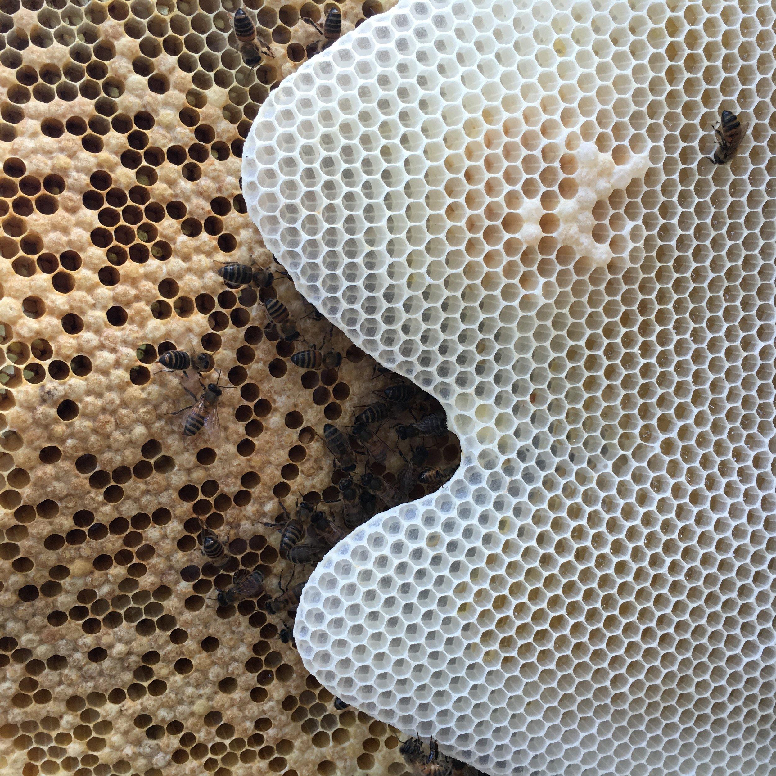 st_lucia_bees_fresh_honeycomb.jpg