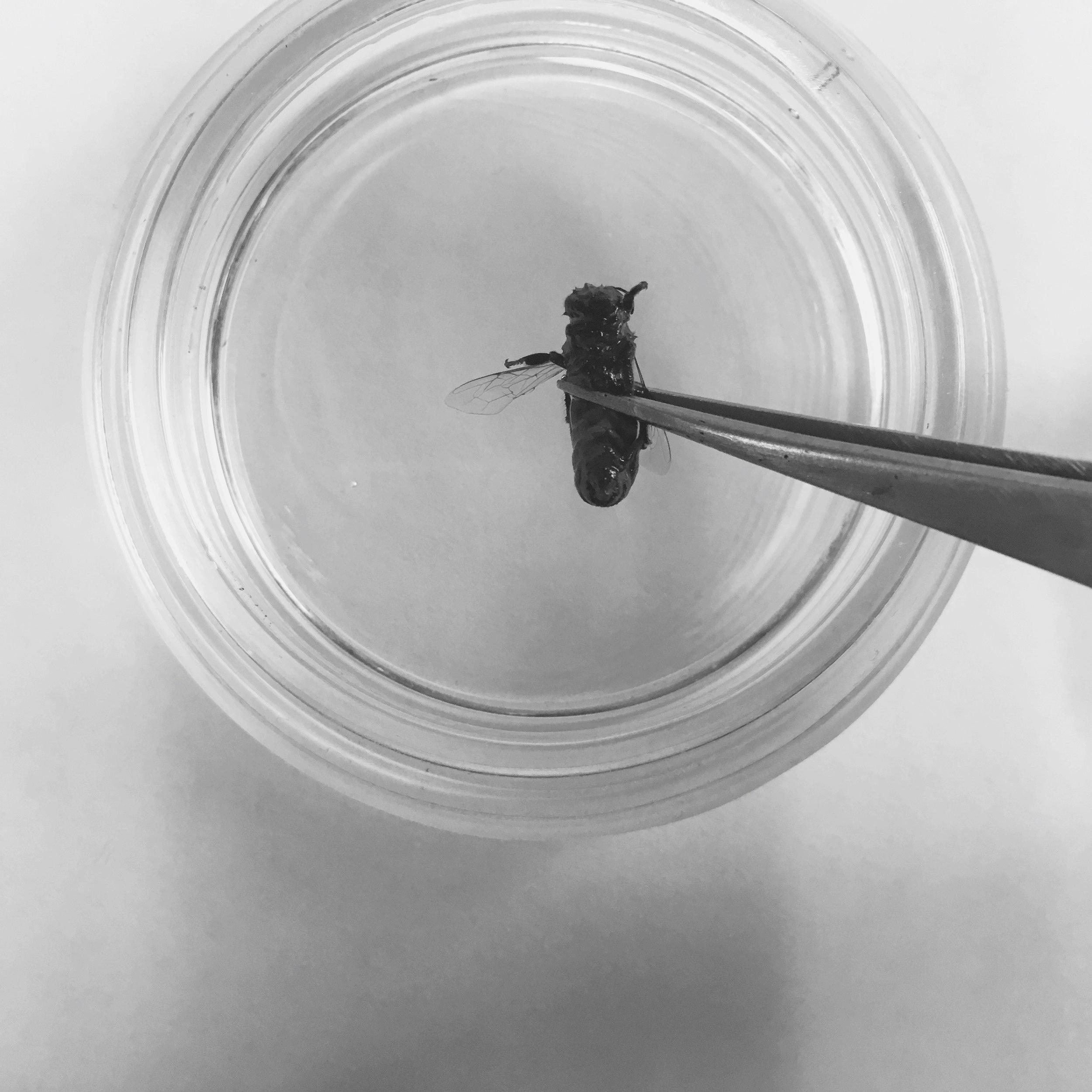 honey bee dish dissecting tweezer.jpg