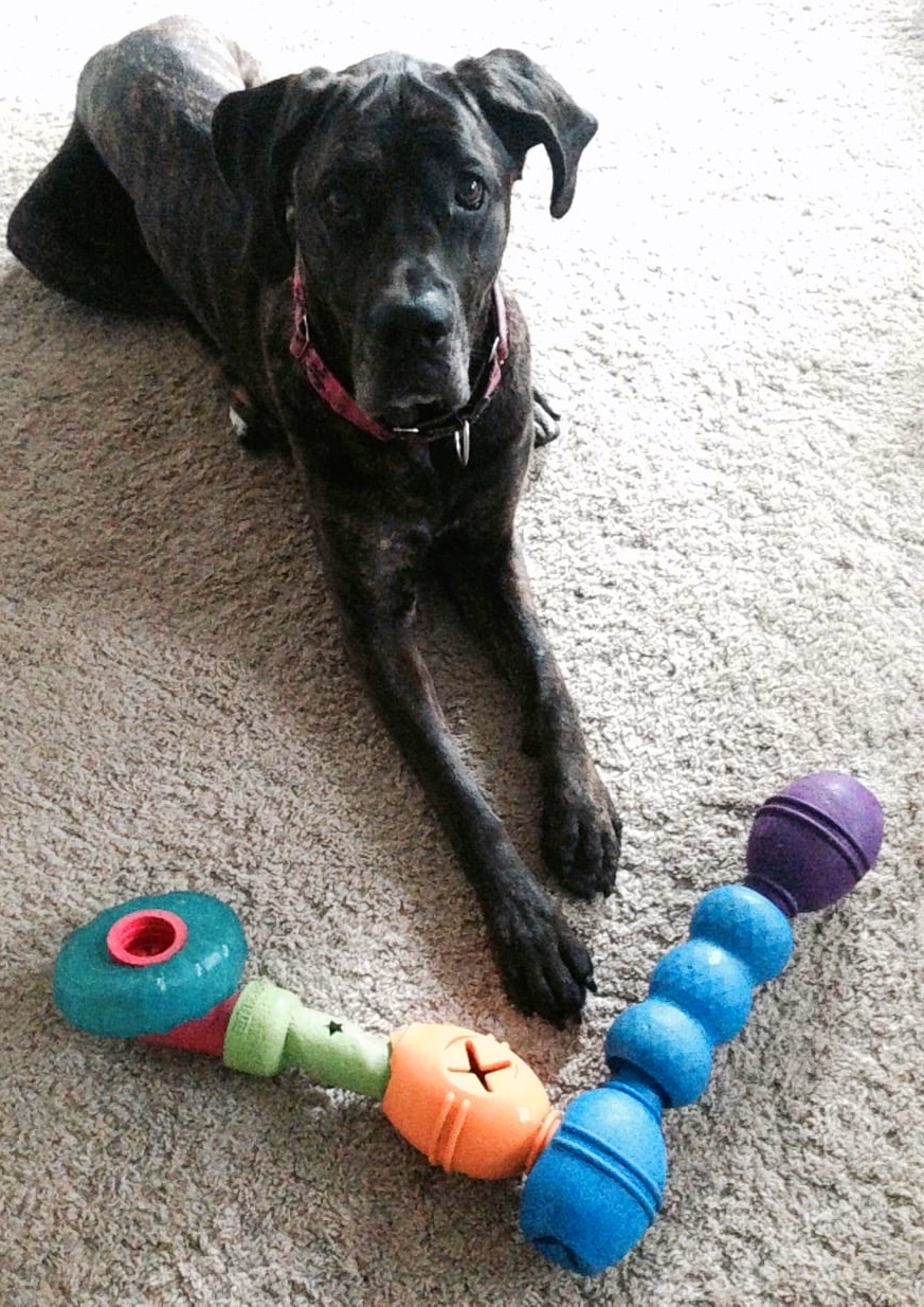 Terra is about to get started on an extra-hard combination of food-puzzle toys! Made of Kong Genius toys and Link-ables. Guaranteed to give her jaw and brain a workout.