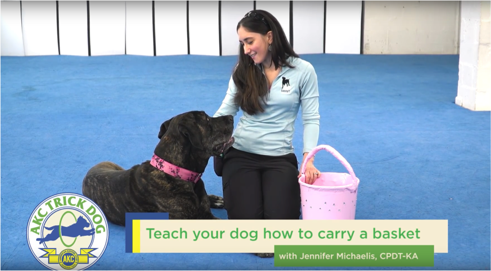SassyT Canine Academy will be offering evaluations for AKC Trick Dog titles soon!