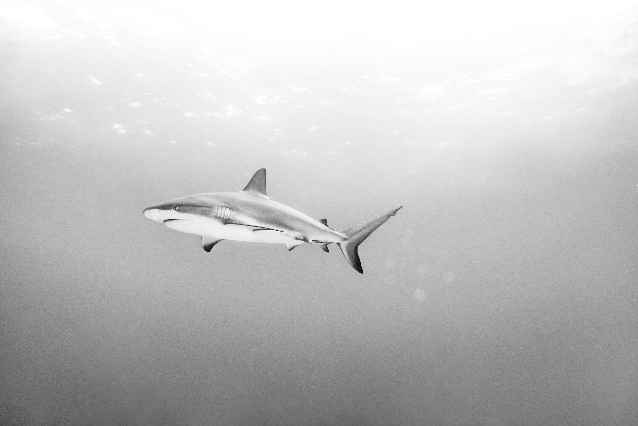 Shark3.jpg