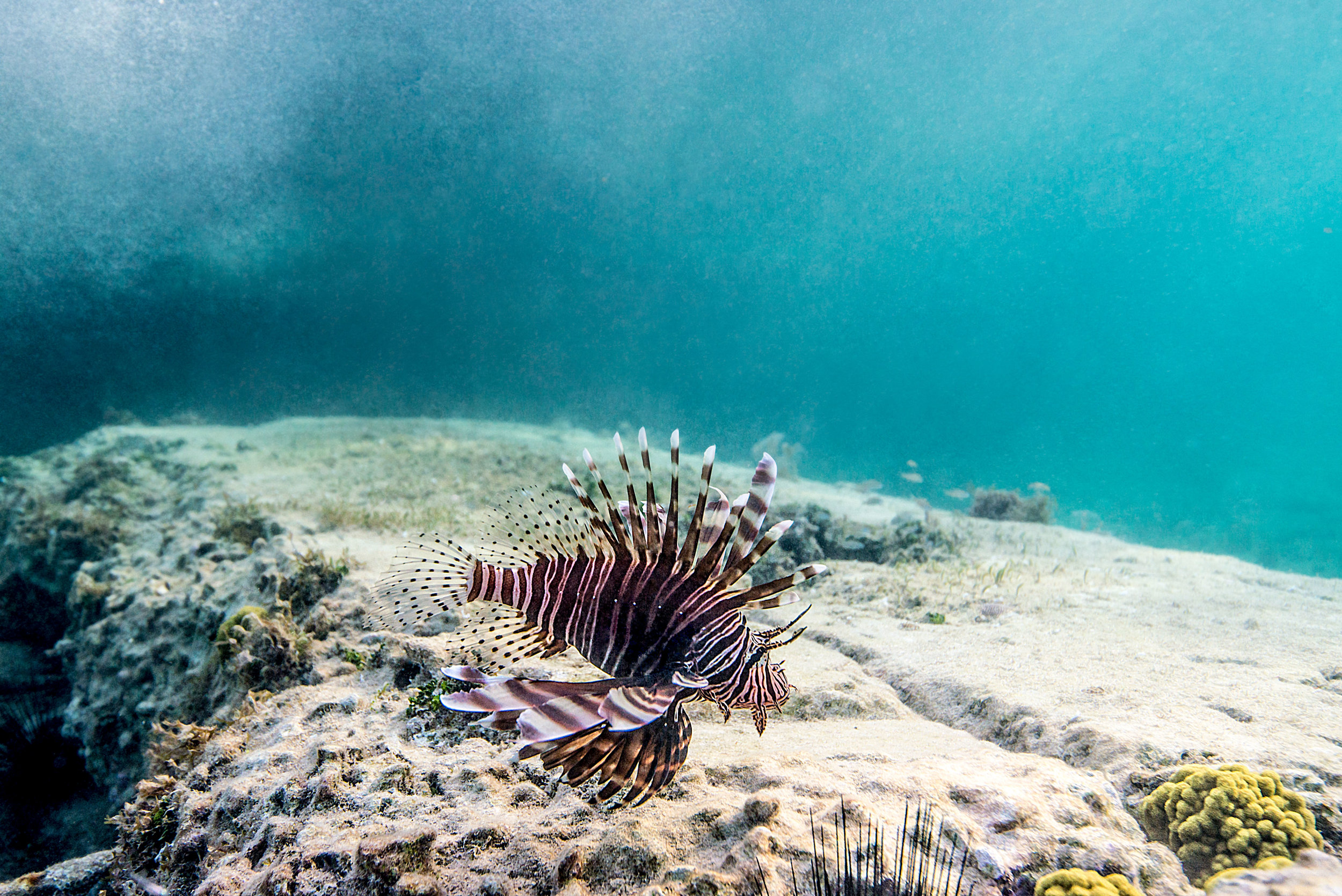 Bahamas_Lionfish.jpg