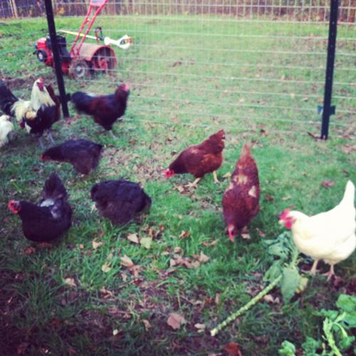 chickens 2.jpg