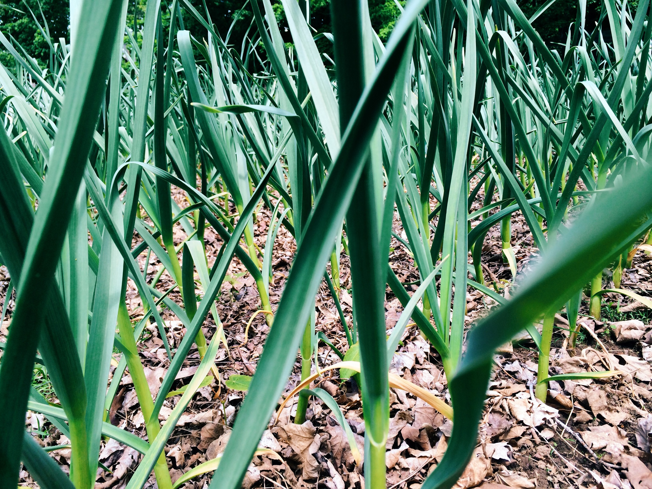 Garlic forest. We're checking for scapes every day, as they seemingly grow by the hour.