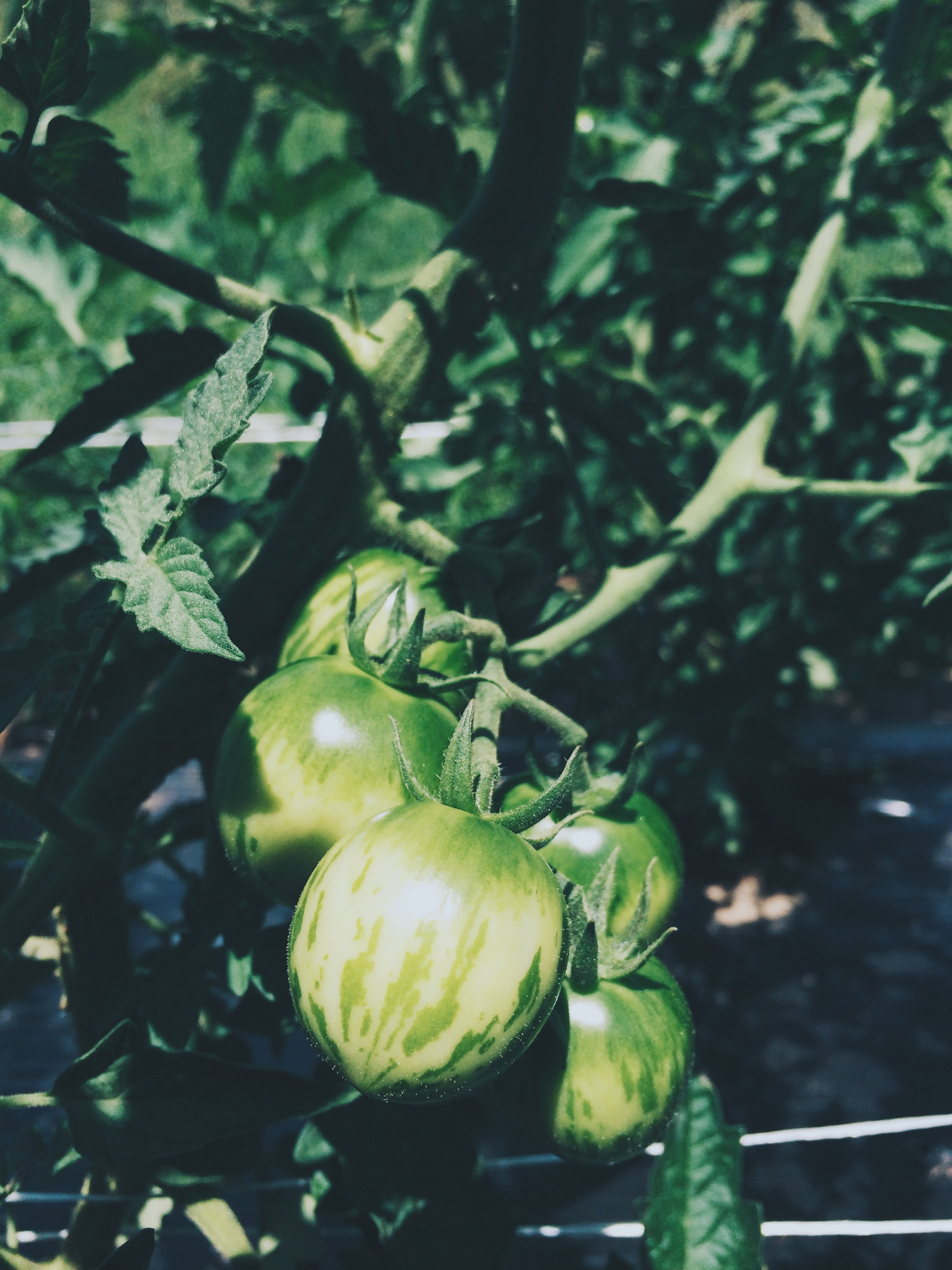 While we toil away on all sorts of chaotic July tasks, the tomatoes grow quietly and steadily, laying in wait, getting ready to ripen. We're SO ready.
