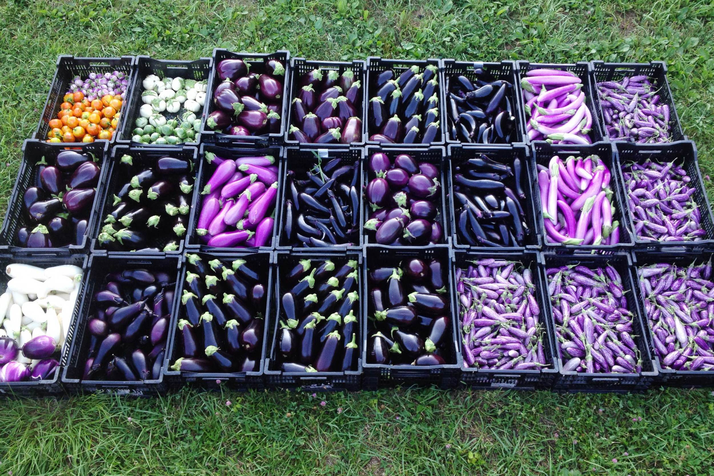 In case you're wondering what 450 pounds of eggplants look like, here it is.