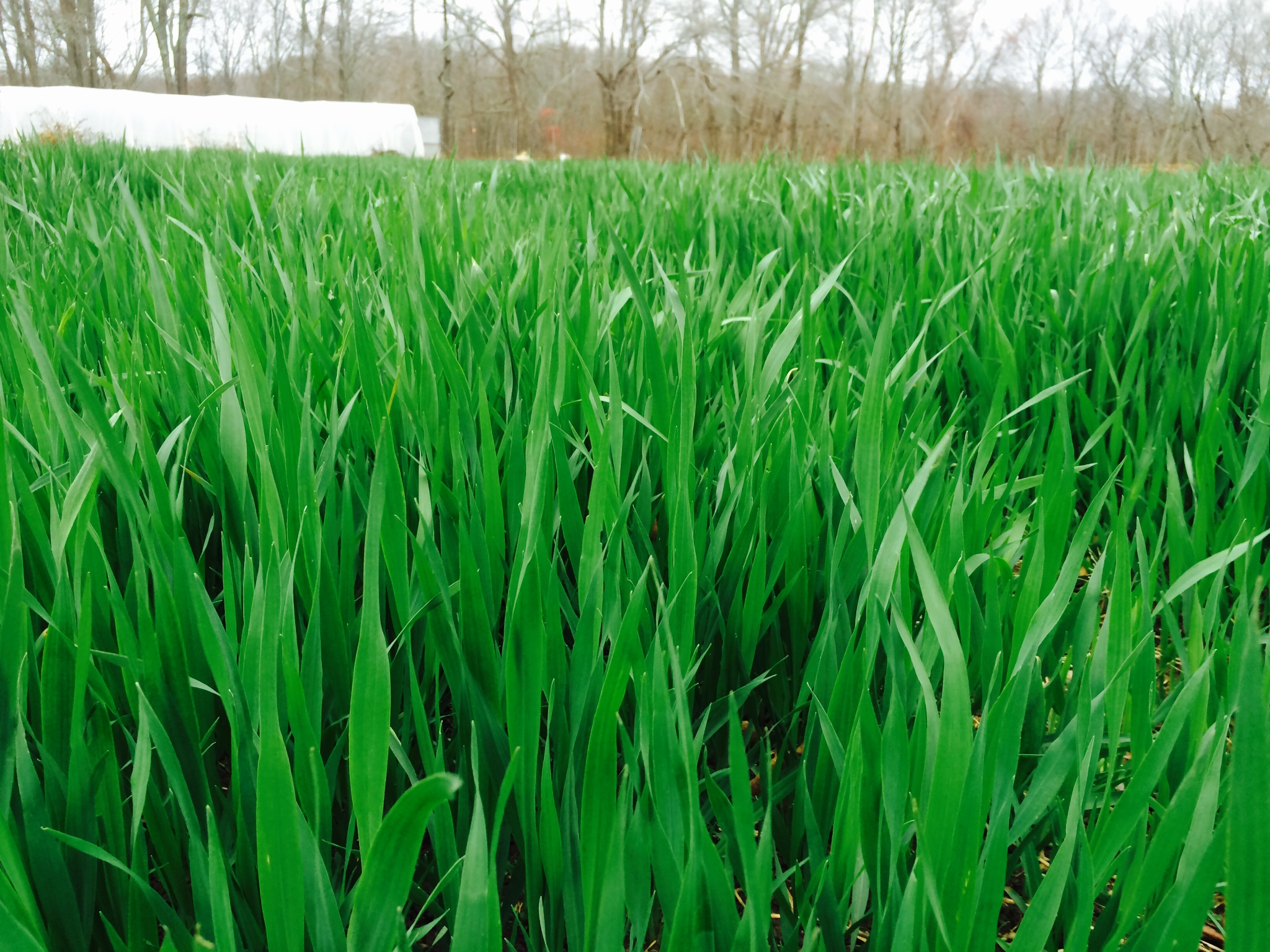 Oats Cover Crop