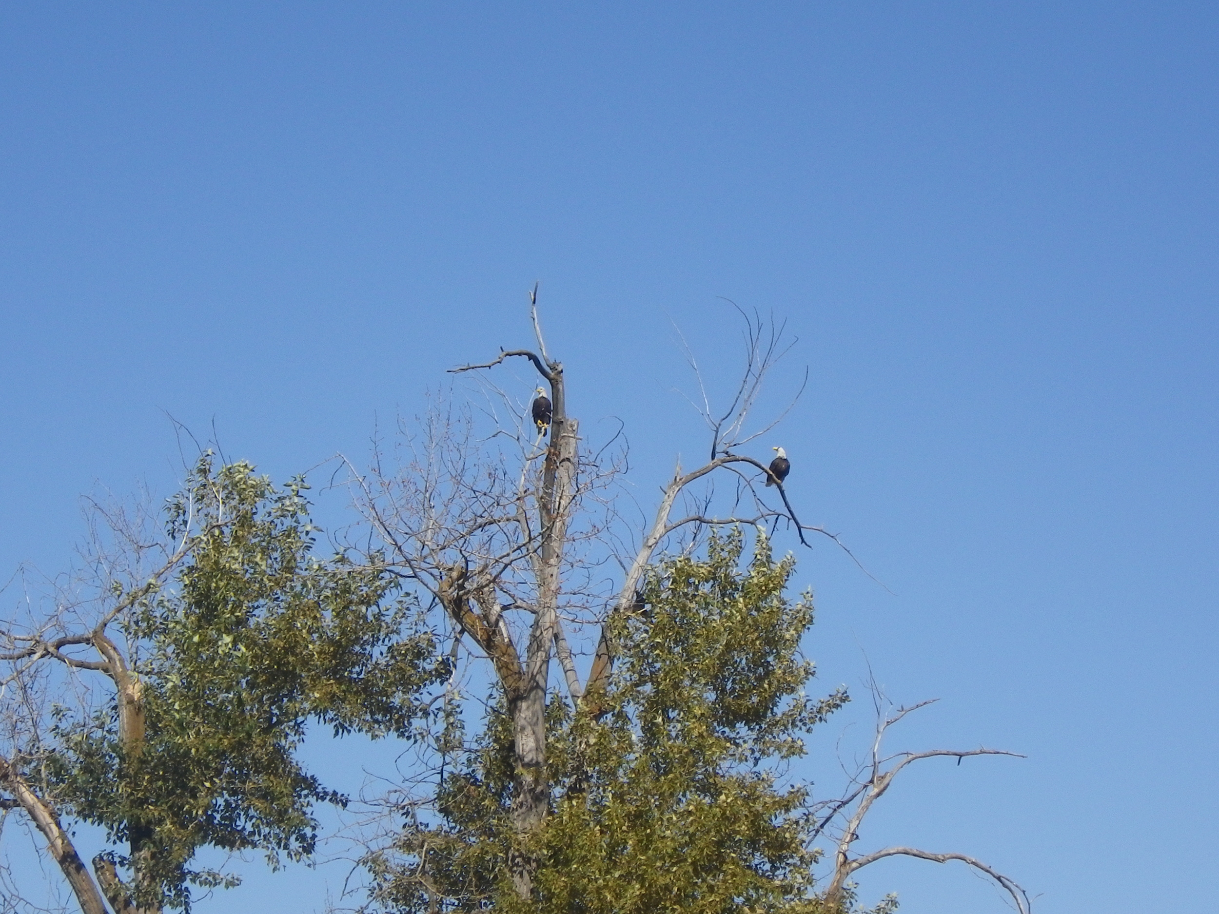 A pair of bald eagles outside Colfax, Washington