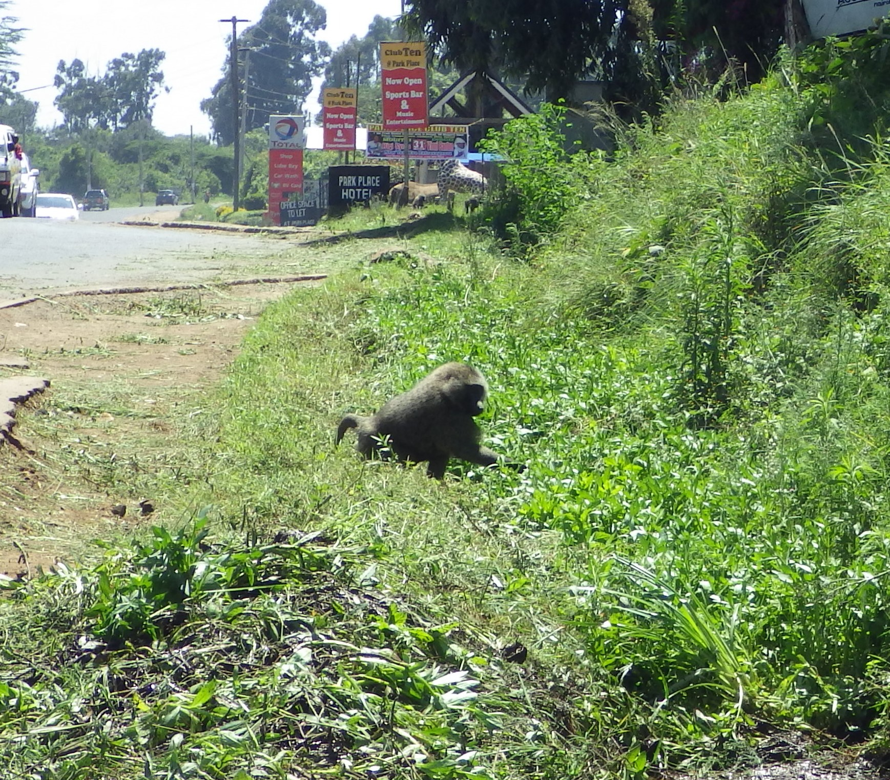 I figured this male baboon did not want me intruding so I yielded right of way.