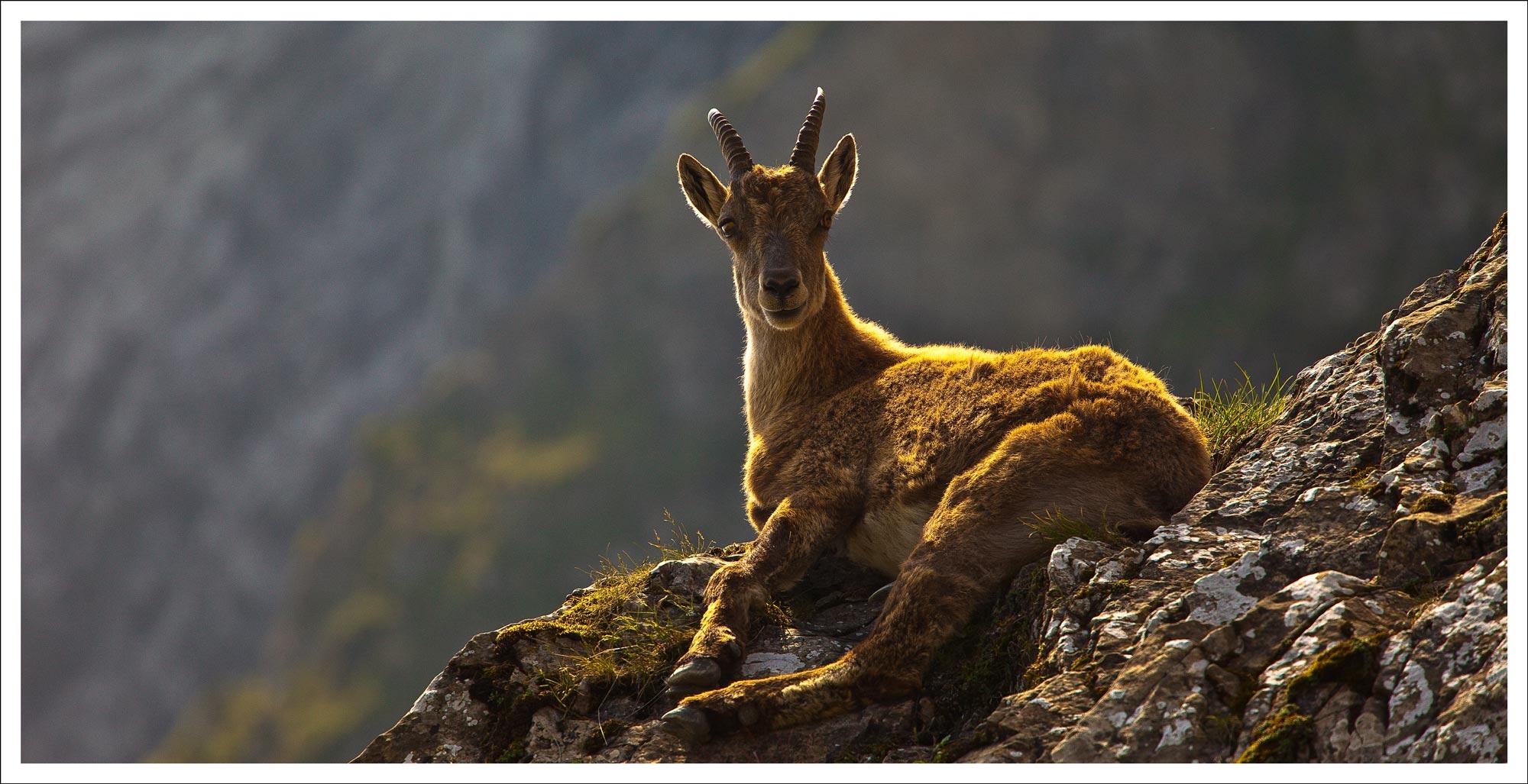 goat_WEB.jpg