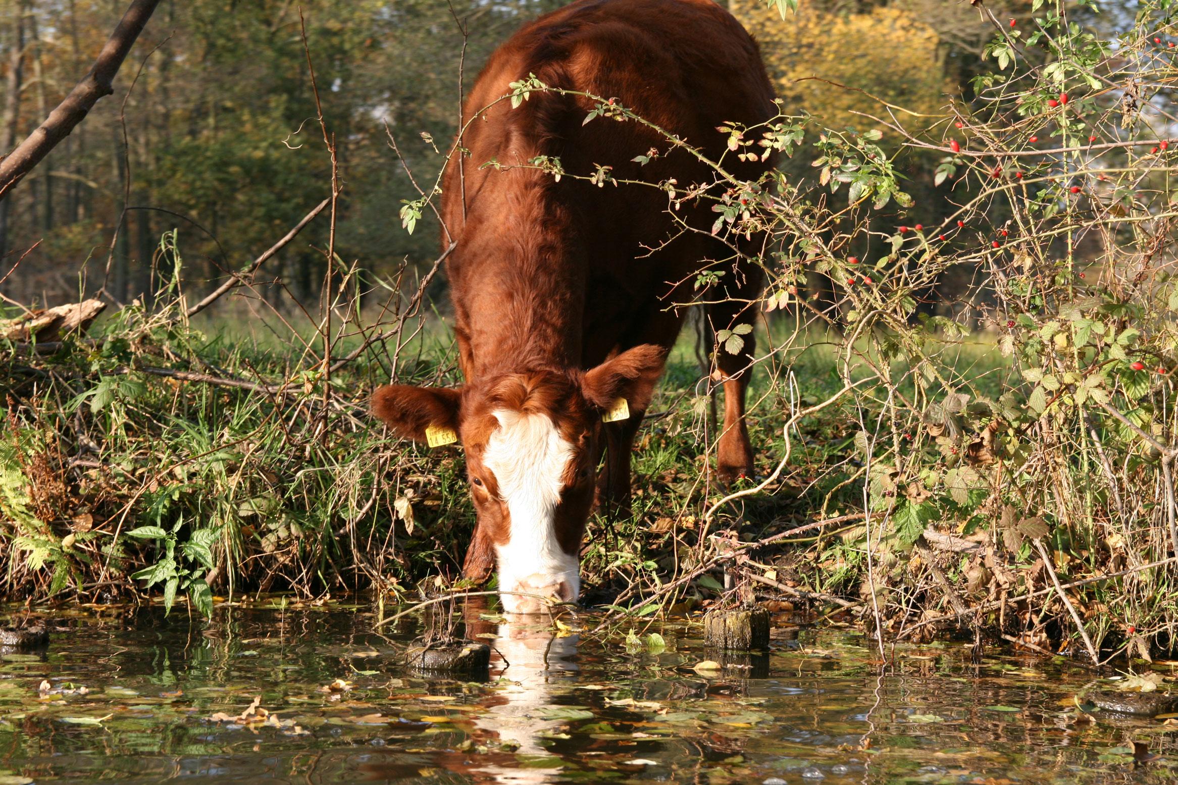 Wiesen und Weiden - Ohne Menschen wäre der Spreewald ein Bruchwald. Erst durch Äcker, Wiesen und Weiden entsteht im Naturraum die Vielfallt und der Artenreichtum. Das ist mühsam, denn die Flächen sind oft nur auf dem Wasser erreichbar. Beispielsweise muss jede Kuh mit einem Doppelkahn einzeln zur Weide gebracht werden.