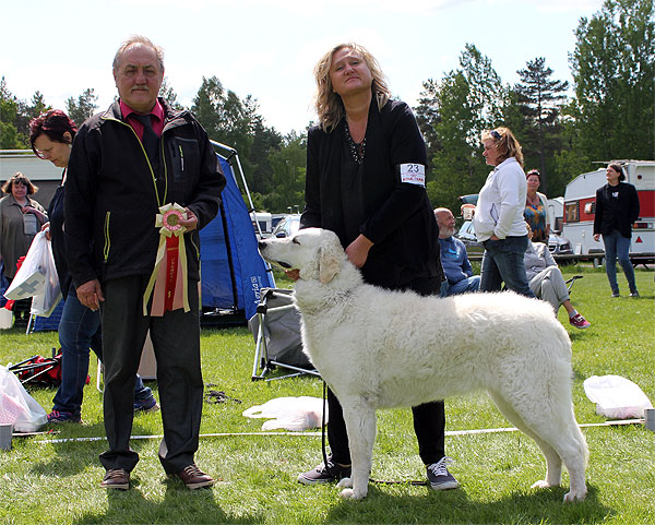 Csigora Magic Melody att the Swedish Kuvasz Club's breed special in 2014. Photo:  SvKK .