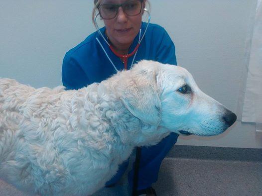 Stella (Királydombi-Fehér Csalfa) hos veterinären. Foto: Silvana Carlén.