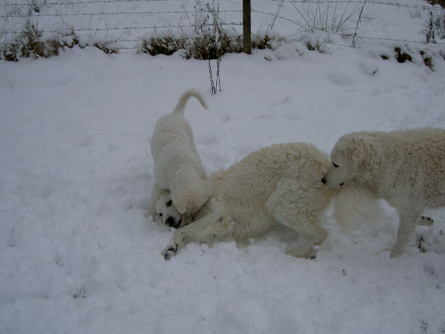 Tassa, Länsman & Anya playing in the snow.