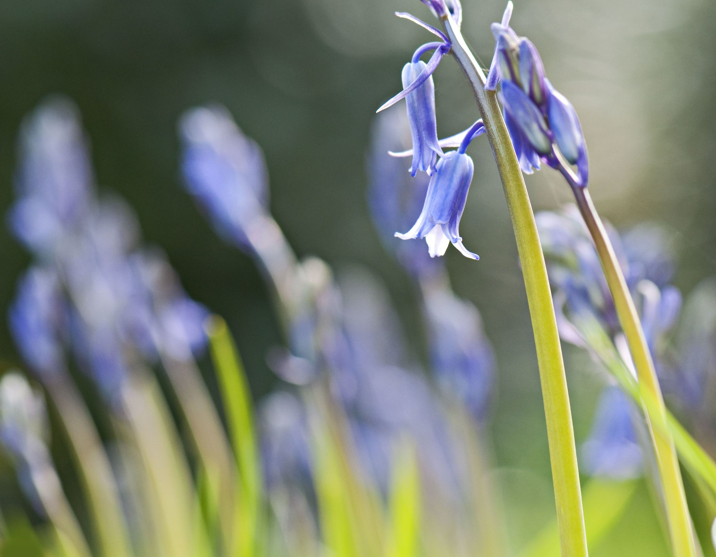 The bluebells are coming into their own