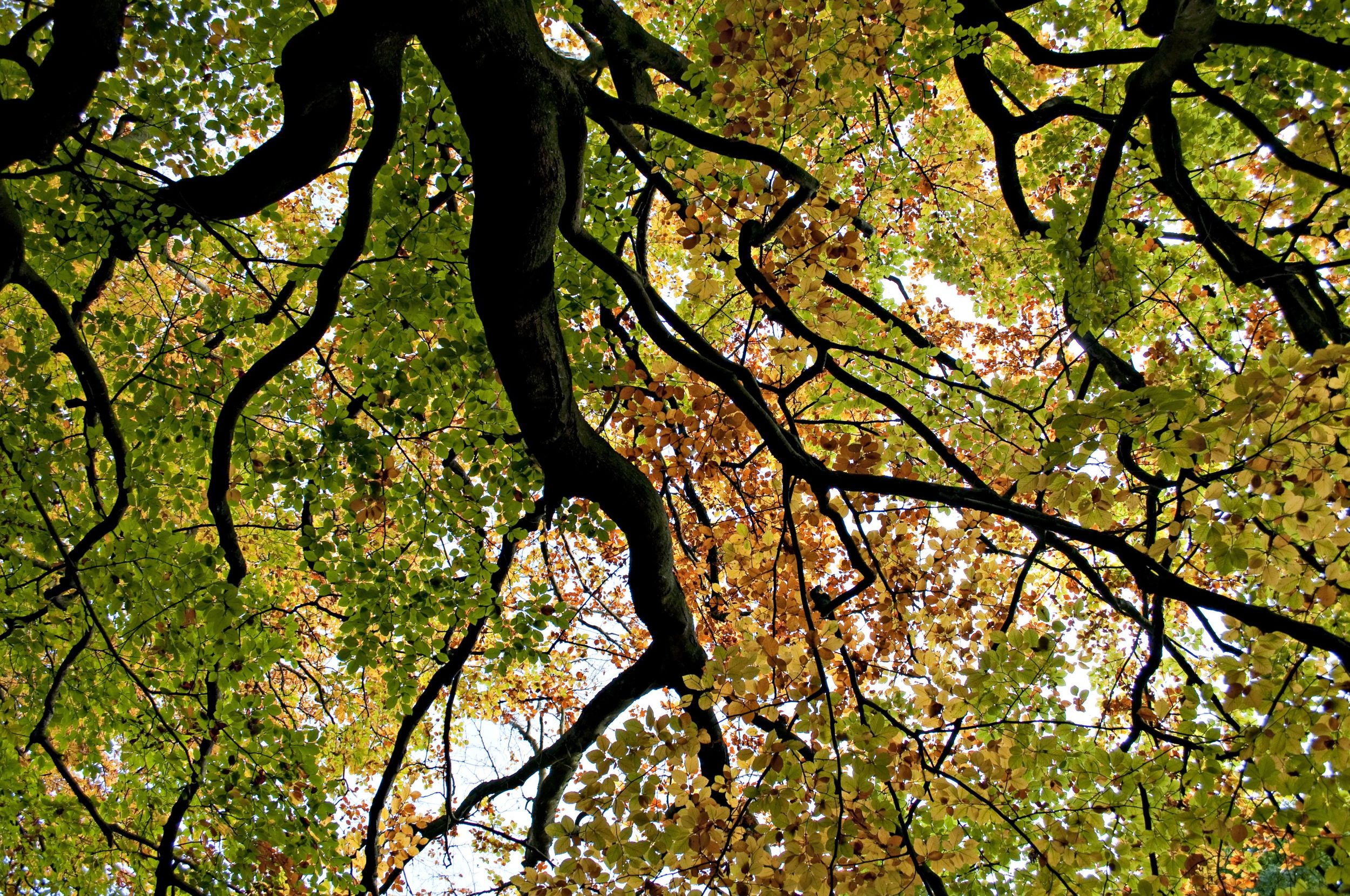 Peering up through the petticoats of the big mother beech to her new copper frock