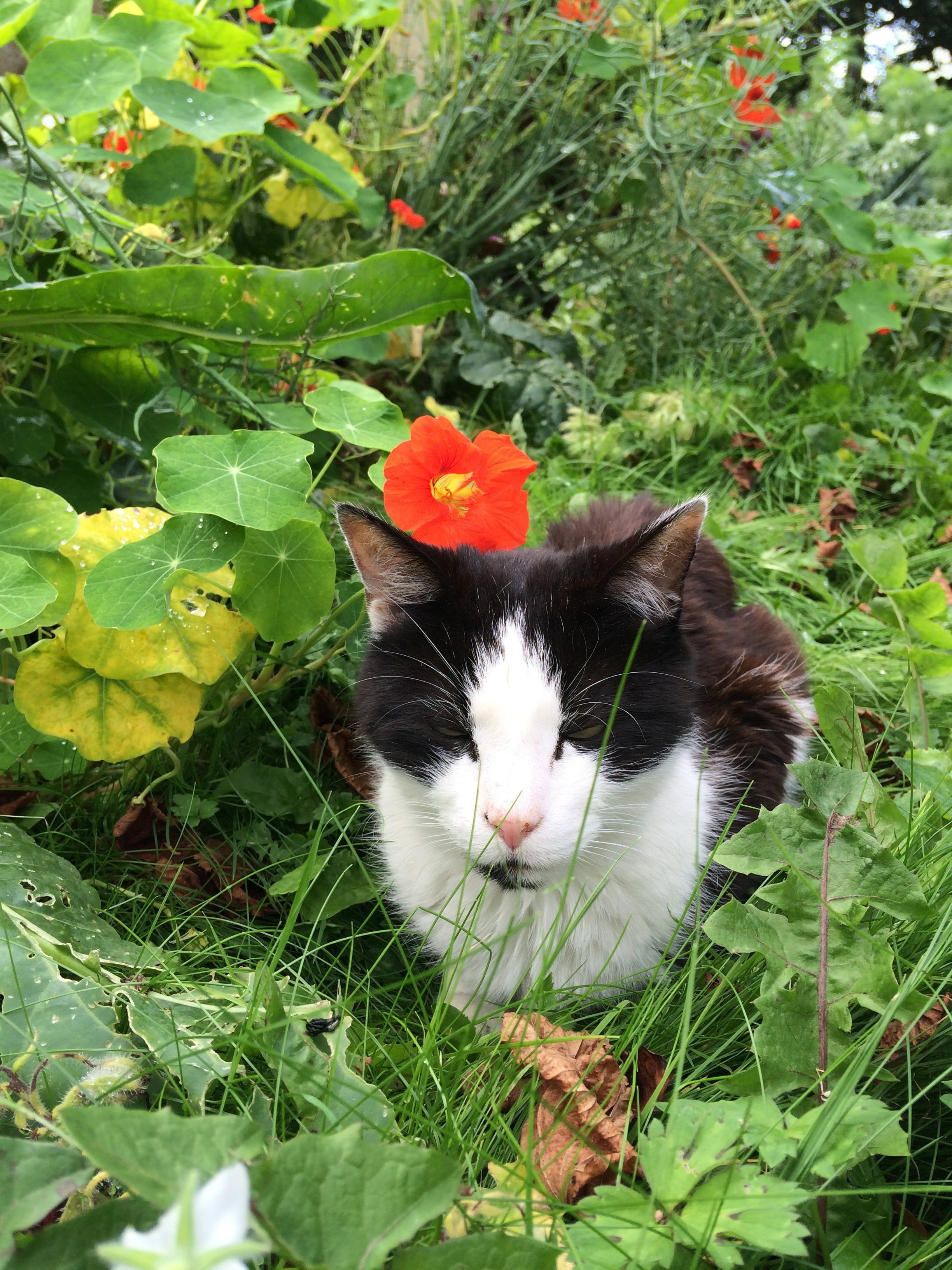 Stan chilling in among the nasturtiums