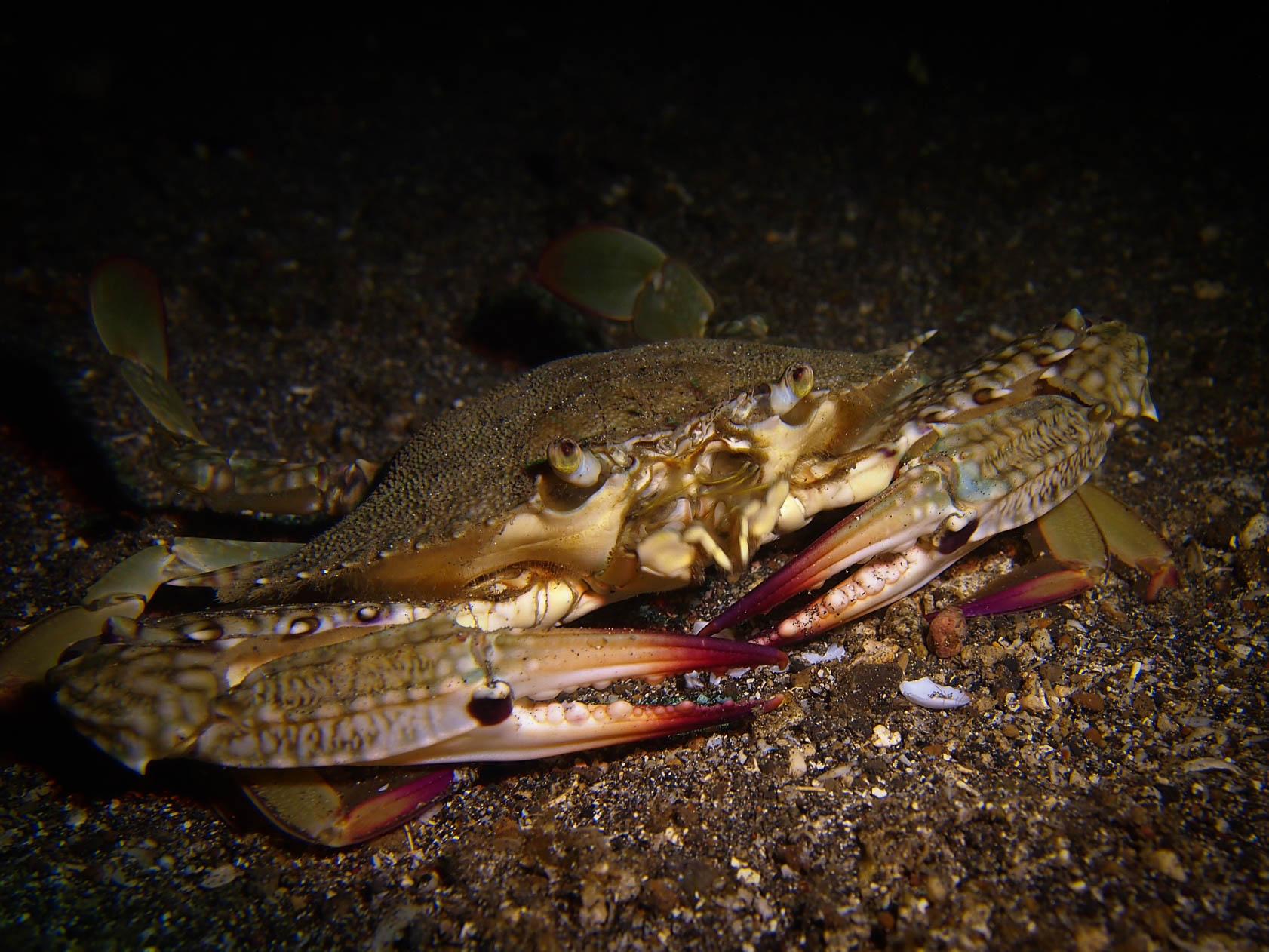Crab LRiscinti.jpg