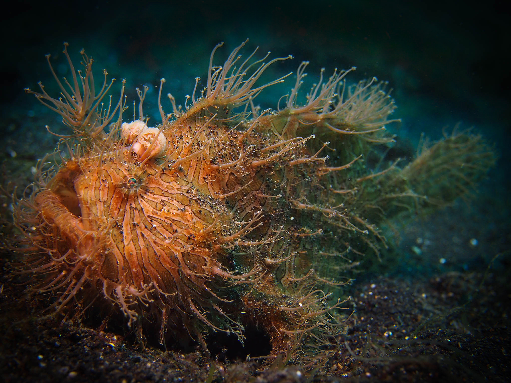 Hairy Frogfish LRiscinti.jpg
