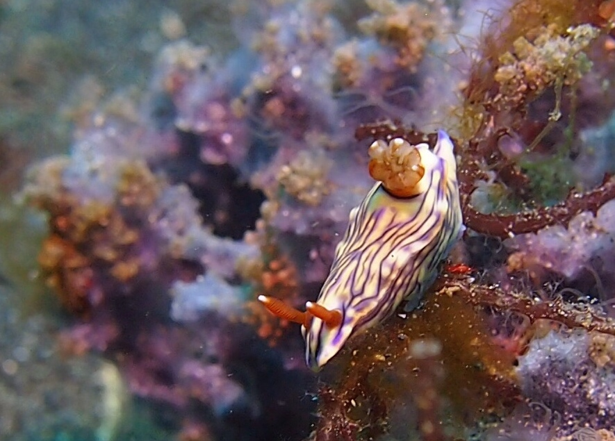 Nudibranch LRiscinti.jpg