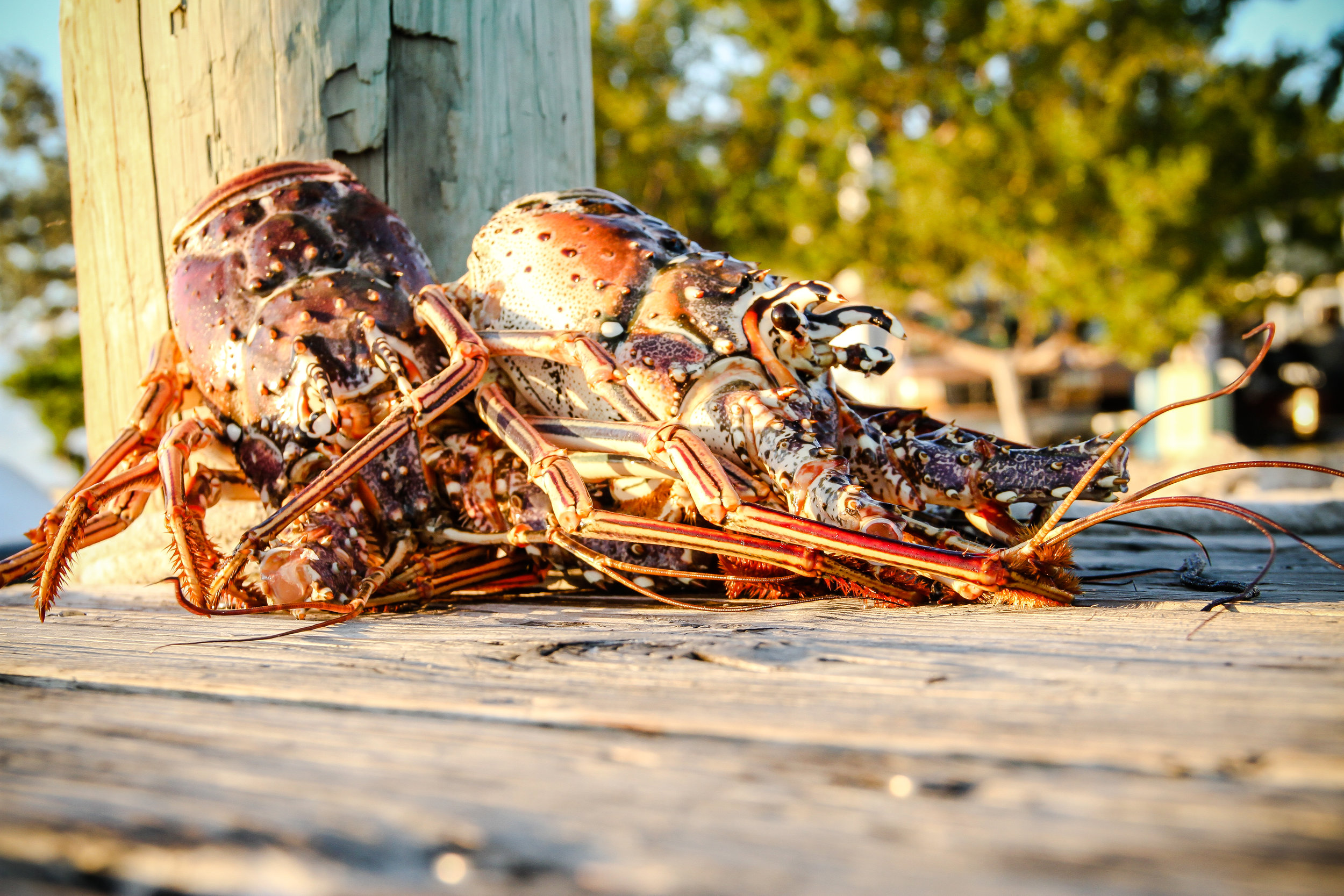 Did you know that up to 75% of all lobster hears are simply discarded. Today's recipes teach you how to use all of the product.